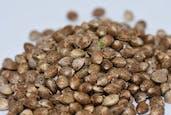 Seeds By Jax Genetics -  Master Hash
